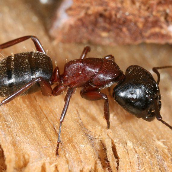 Ants-Carpenter