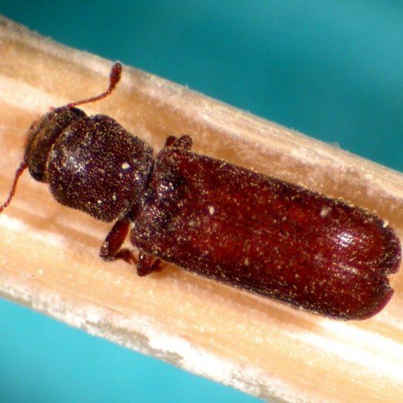 Beetles-Powderpost