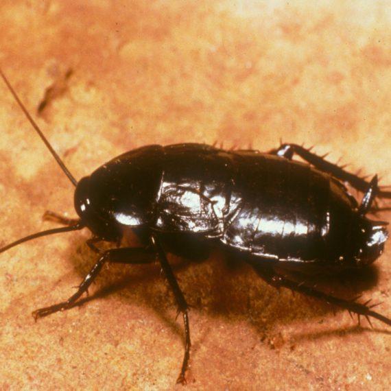 Cockroach-Oriental