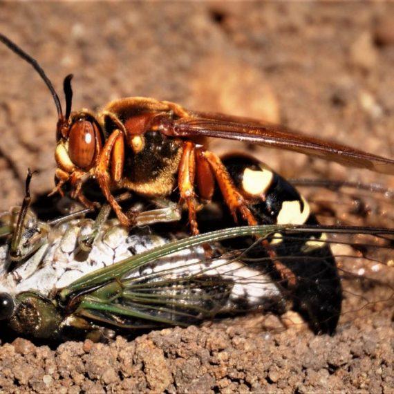 Wasps-Cicada Killer