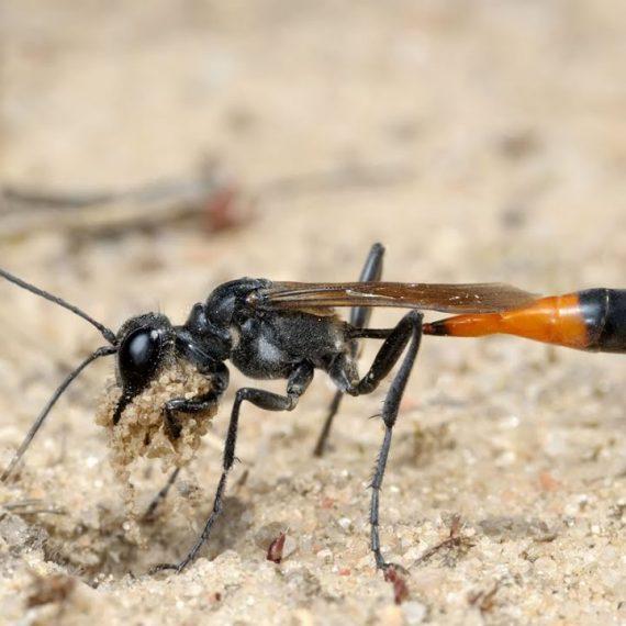 Wasps-Digger
