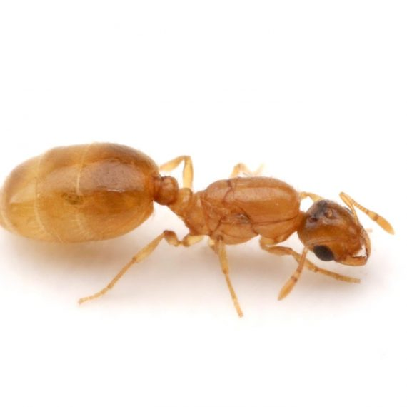 Ants-Thief